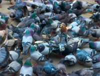A large congregation of pigeons on the ground.