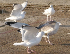 A number of seagulls standing on the ground.