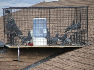 A number of pigeons in a cage on a roof.