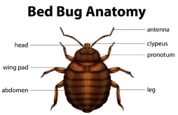 bed bug diagram pic