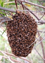 Close up of bees on their hive.