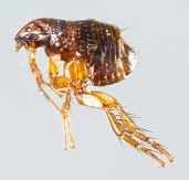 A flea under the microscope