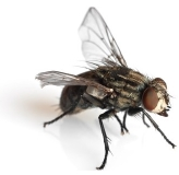 picture of a house fly