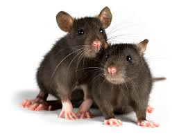 Two rats against a white background.