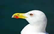 Close up of a seagull.