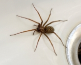 house spider uk