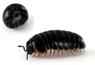 pill woodlouse